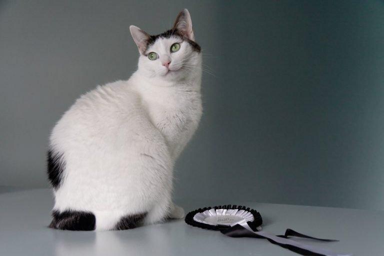 Черно-белый кот породы японский бобтейл