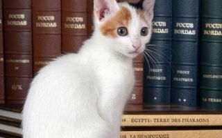 Трехцветный котенок бобтейл