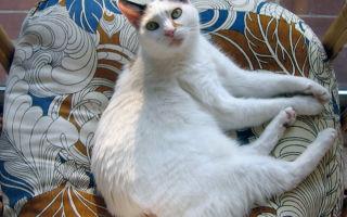 Японская породы кошек