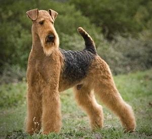 так выглядит собака породы Эрдельтерьер