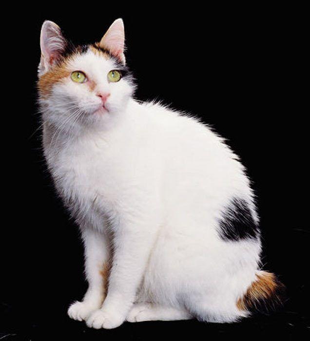 Белый кот в пятнах