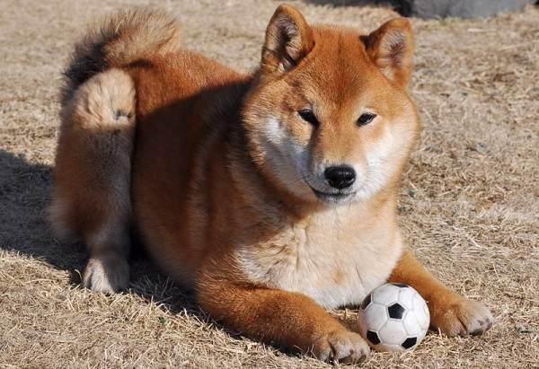 Шиба-ину-собака-Описание-особенности-цена-уход-и-содержание-породы-шиба-ину-14