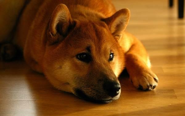 Шиба-ину-собака-Описание-особенности-цена-уход-и-содержание-породы-шиба-ину-2