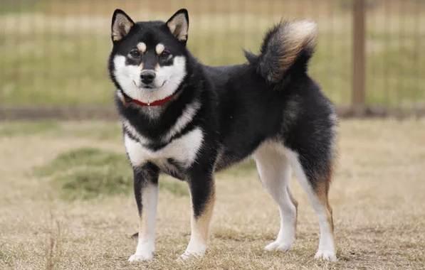 Шиба-ину-собака-Описание-особенности-цена-уход-и-содержание-породы-шиба-ину-21