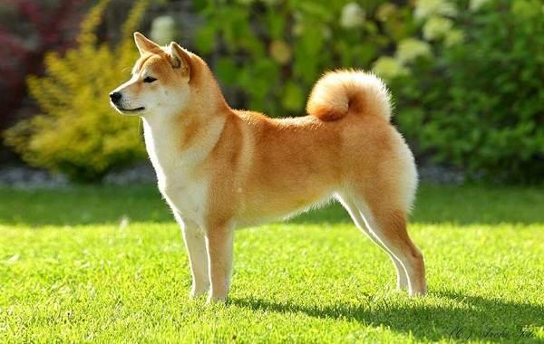 Шиба-ину-собака-Описание-особенности-цена-уход-и-содержание-породы-шиба-ину-23