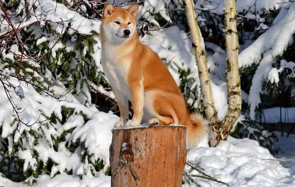 Шиба-ину-собака-Описание-особенности-цена-уход-и-содержание-породы-шиба-ину-24