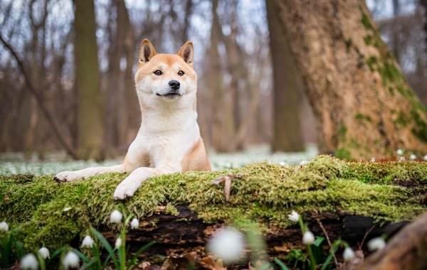 Шиба-ину-собака-Описание-особенности-цена-уход-и-содержание-породы-шиба-ину-25