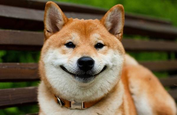 Шиба-ину-собака-Описание-особенности-цена-уход-и-содержание-породы-шиба-ину-27