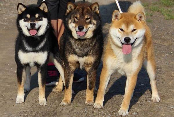 Шиба-ину-собака-Описание-особенности-цена-уход-и-содержание-породы-шиба-ину-4